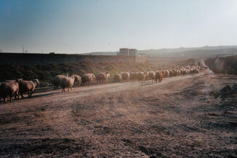 gregge-pecore