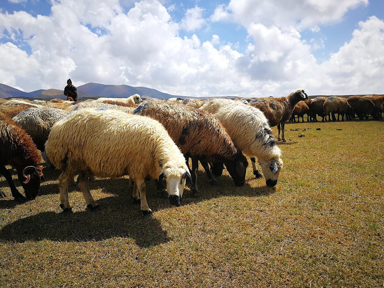 pastori e pecore armene