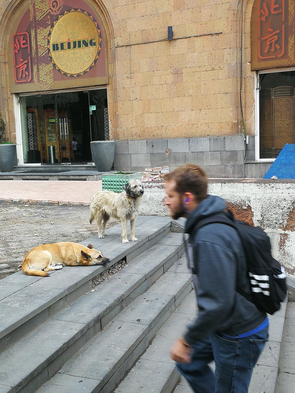 yerevan cani randagi