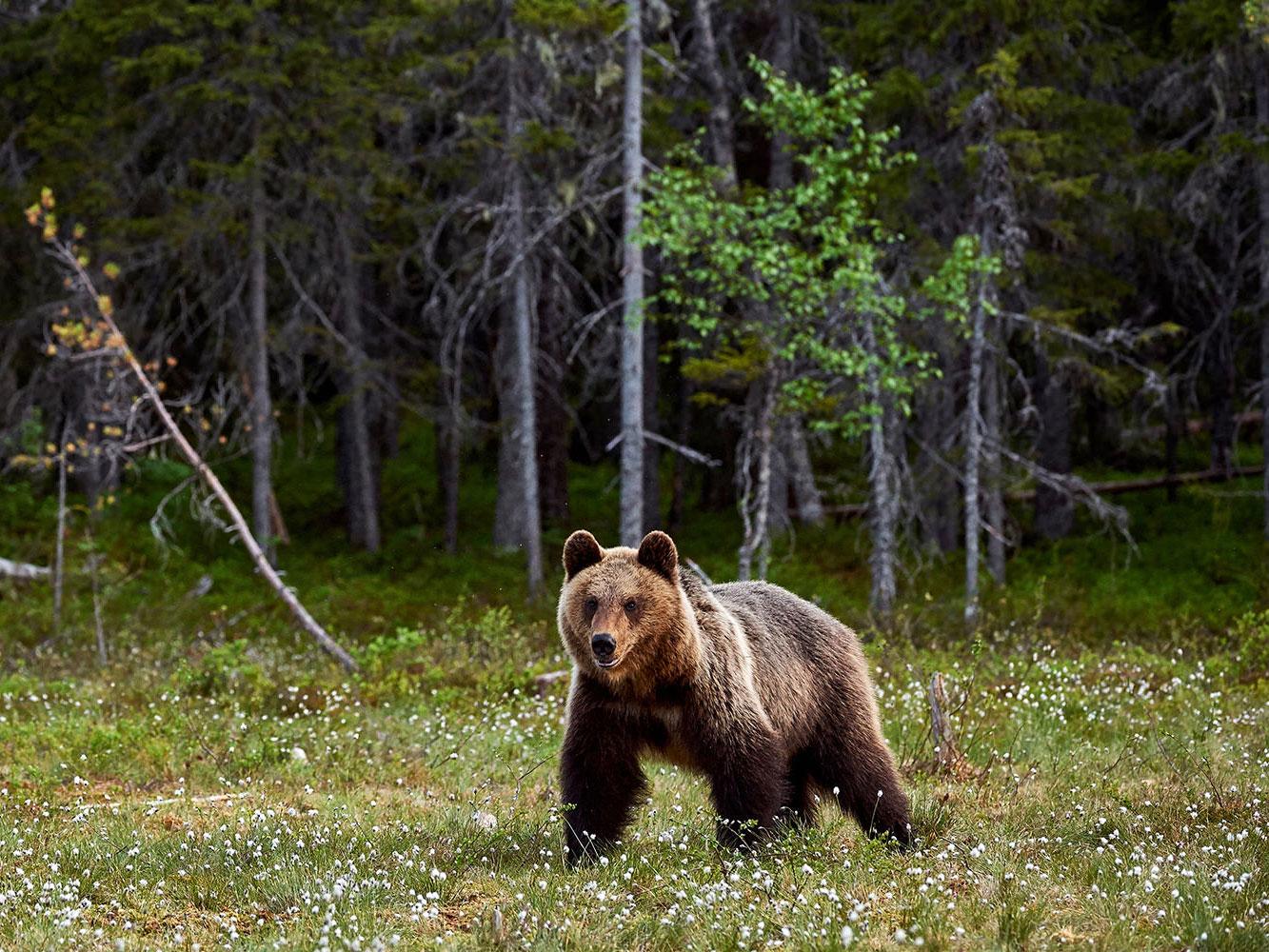 cosa-mangia-orso-bruno