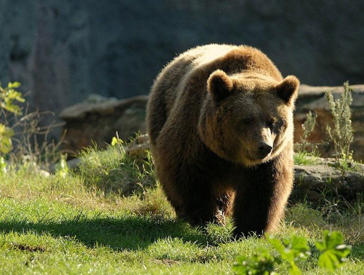 orso-bruno-alpi