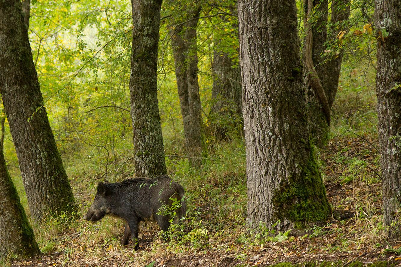 cinghiale nel bosco