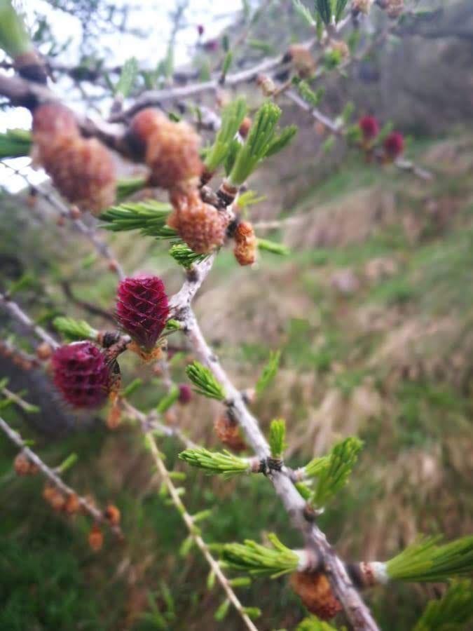 fioritura larice sentiero dei fiori