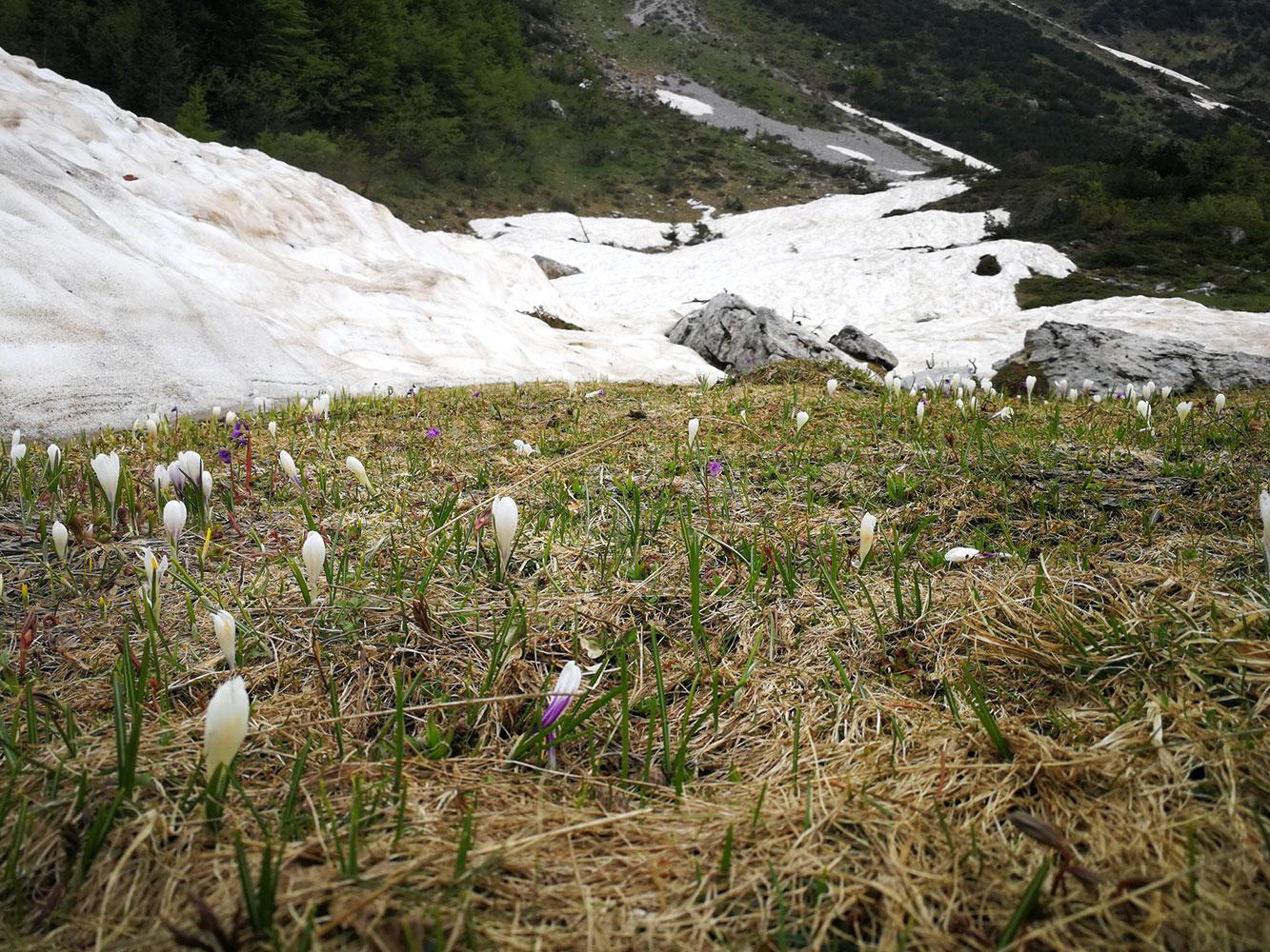 flora di montanga i bucaneve