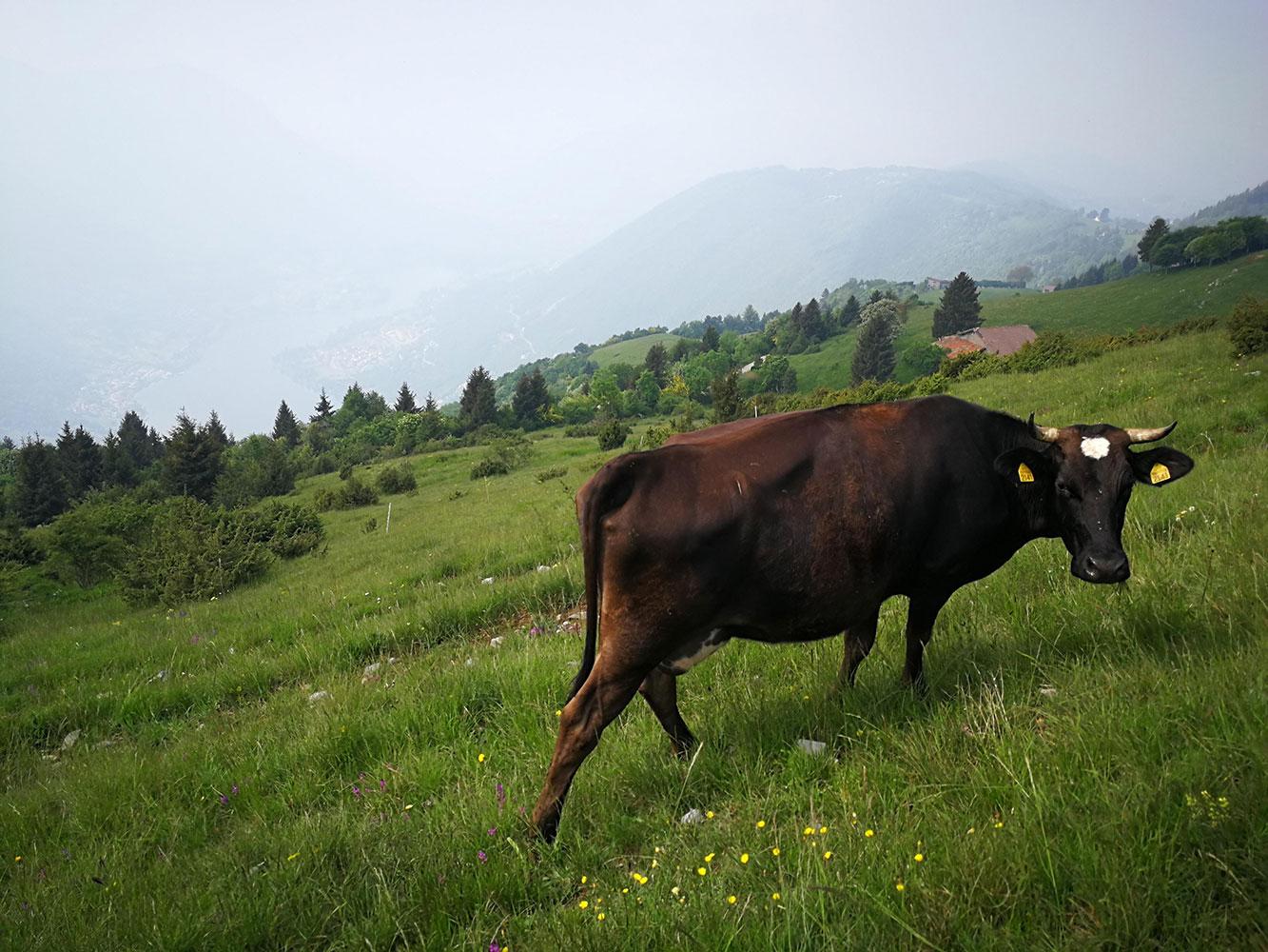 vacche al pascolo valgandino
