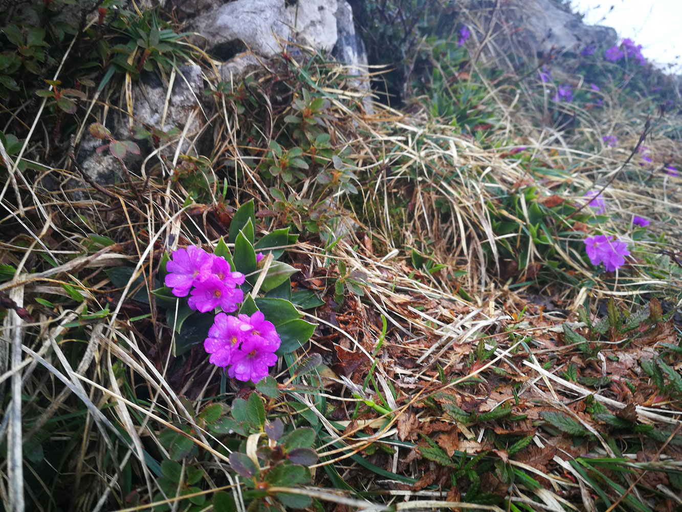 primula sentiero dei fiori