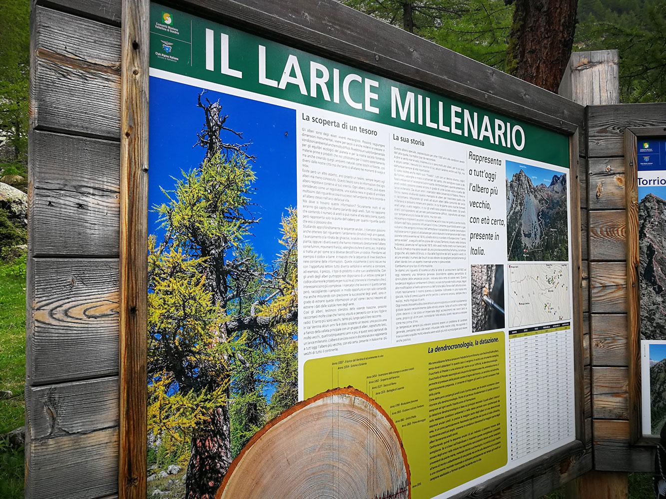 larice-millenario-ghiacciaio-ventina