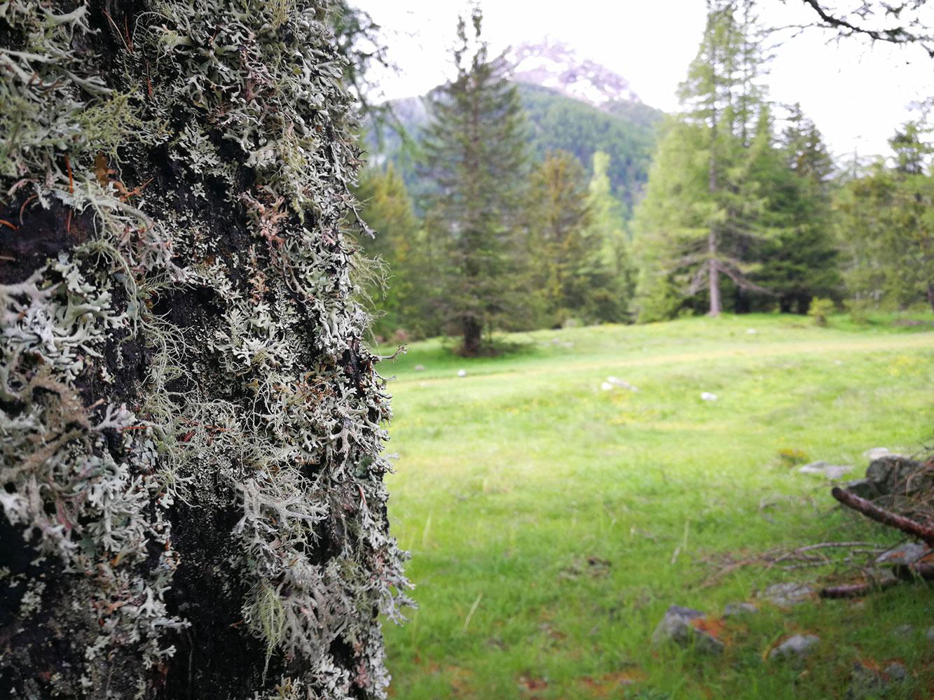 muschi-e-licheni-flora-alpina